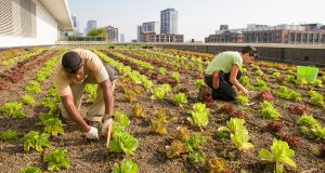 chicago-rooftop-farm
