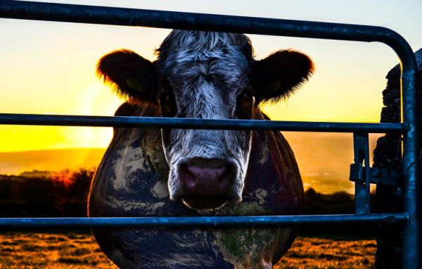 cowspiracy-affiche-vache