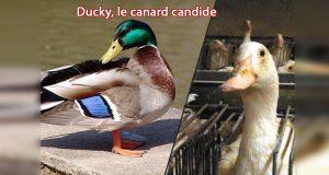 canard-avant-apres-gavage-foie-gras-ducky
