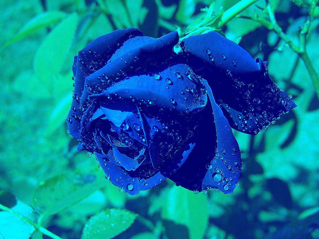 rose-bleue-ps-droite