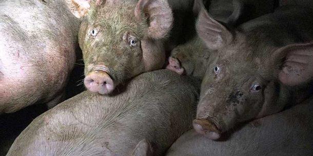 La détresse des cochons entassés avant le gazage…