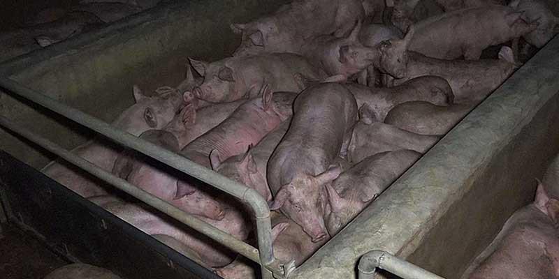 cochons-entasses